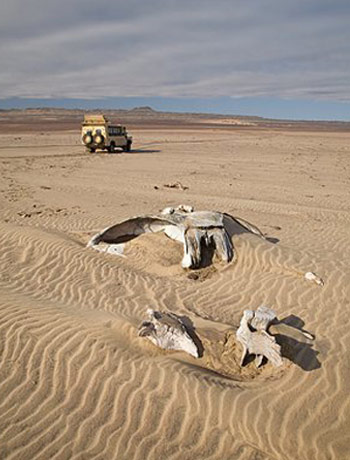 Restos de ballenas en el parque Banc D'Arguin